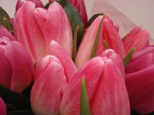 Tulips close up